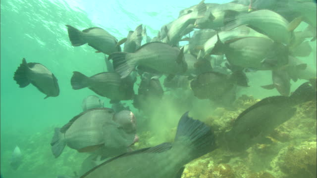 bumphead parrot fish school eating, close up. borneo, malaysia, southeast asia - parrotfish stock videos & royalty-free footage