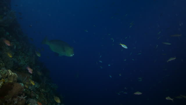 bumphead parrotfish and school of fusilier swimming undersea, indonesia (4k) - humphead wrasse stock videos & royalty-free footage
