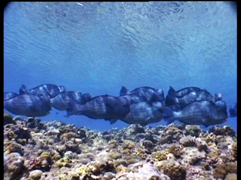 Bumphead Parrotfish school swimming in shallows, track right to Jackfish school circling, pan right to group of divers, Layang Layang, Malaysia