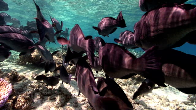 bumphead parrotfish - parrotfish stock videos & royalty-free footage