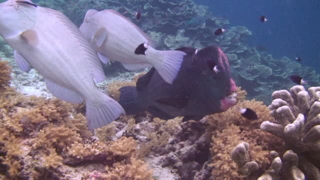 bumphead wrasse - wrasse stock videos & royalty-free footage
