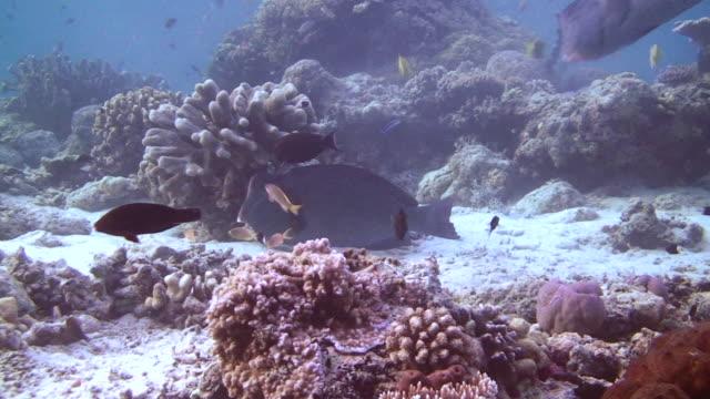 bumphead wrasse - invertebrate stock videos & royalty-free footage