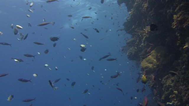 bunaken island marine park - hemitaurichthys polylepis stock videos and b-roll footage