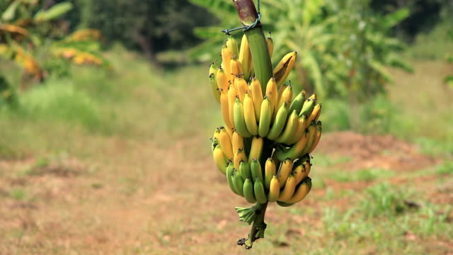 bunch of banana - tropical fruit stock videos & royalty-free footage