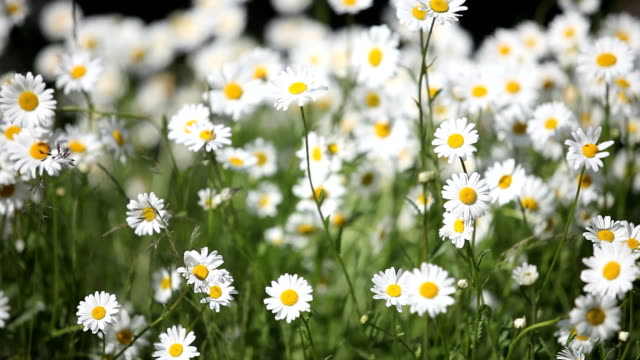 bunch of beautiful daisies in summer wind - digital enhancement stock videos and b-roll footage