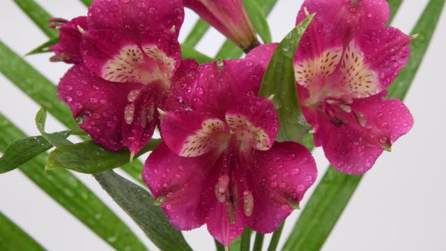 vídeos de stock e filmes b-roll de a bunch of beautiful red seasonal flowers, macro - pistilo