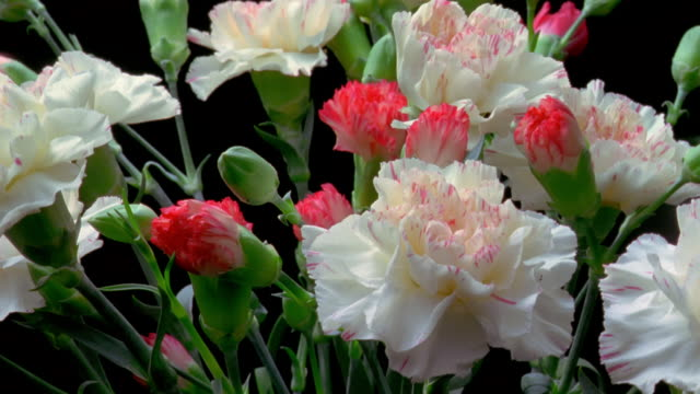 T/L, CU, bunch of carnation flowers opening and rotating against black background