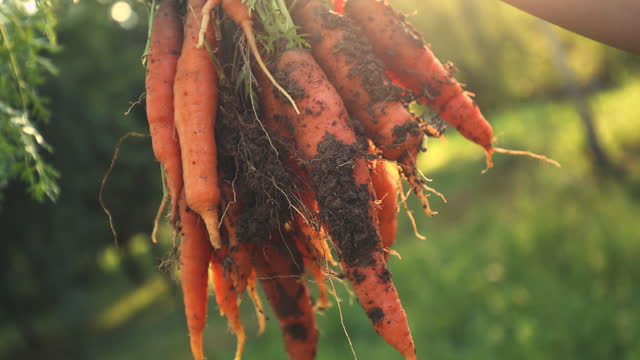 bunch of carrots - carrot stock videos & royalty-free footage