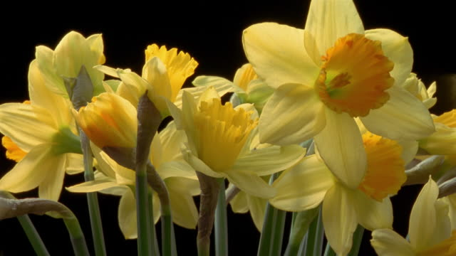 t/l, cu, bunch of daffodil flowers opening against black background - daffodil stock videos and b-roll footage