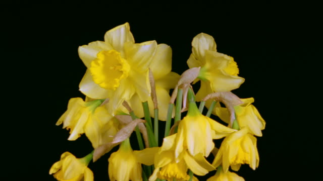 t/l, cu, bunch of daffodils wilting against black background  - 枯れた植物点の映像素材/bロール