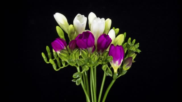 bunch of freesia blooming time lapse - bunch stock videos and b-roll footage