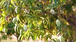 Bunch of fresh green ripe mango on tree.mango tree and mango garden,mango tree and fruits without noise,selective focus