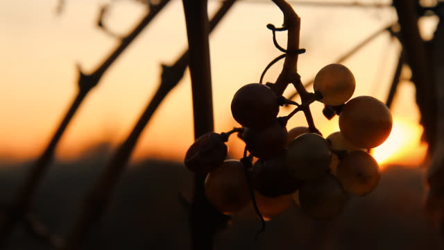 HD DOLLY: Bunch Of Grape At Sunset
