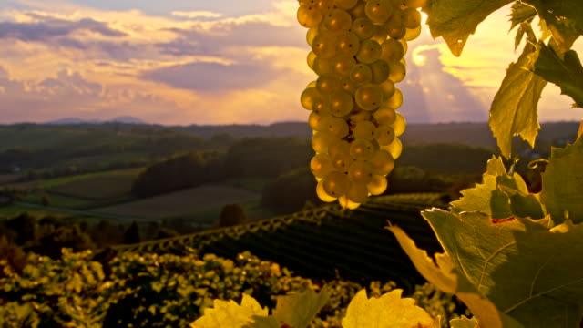 vídeos de stock, filmes e b-roll de cu ds cacho de uvas ao pôr-do-sol - raw footage