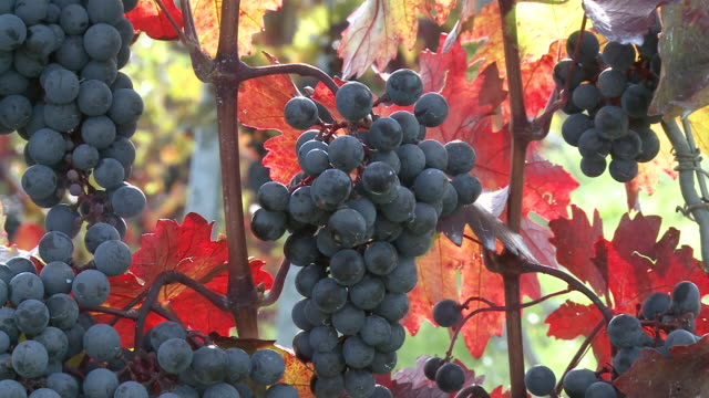 MS Bunch of grapes at vineyard / Nittel, Rhineland-Palatinate,  Germany