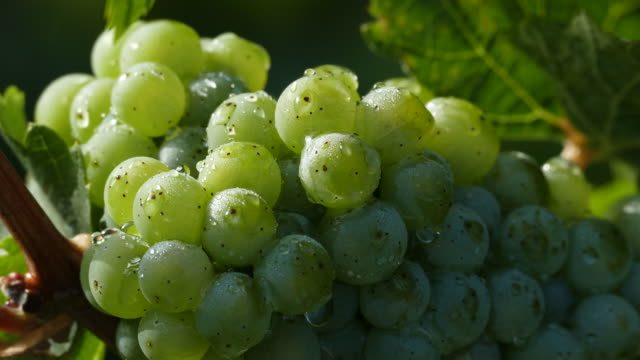 Bunch of grapes in vineyard, Rhineland-Palatinate, Germany, Europe