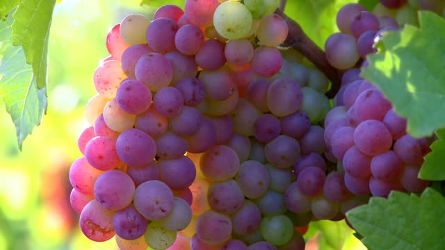 CU ZO Bunch of grapes in vineyard / Saarburg, Rhineland Palatinate, Germany