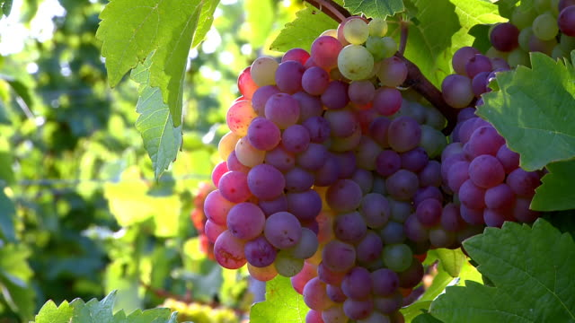 ms zi bunch of grapes in vineyard / saarburg, rhineland palatinate, germany - grape stock videos & royalty-free footage