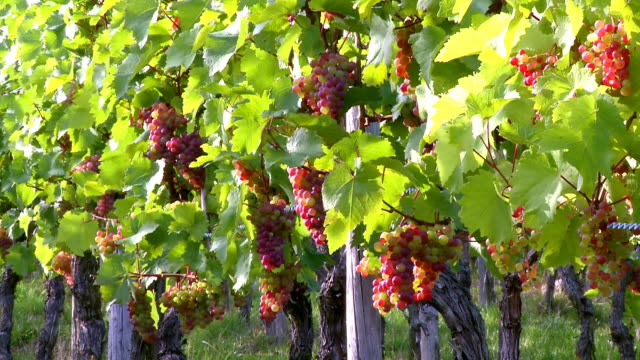 MS ZI Bunch of grapes in vineyard / Saarburg, Rhineland Palatinate, Germany