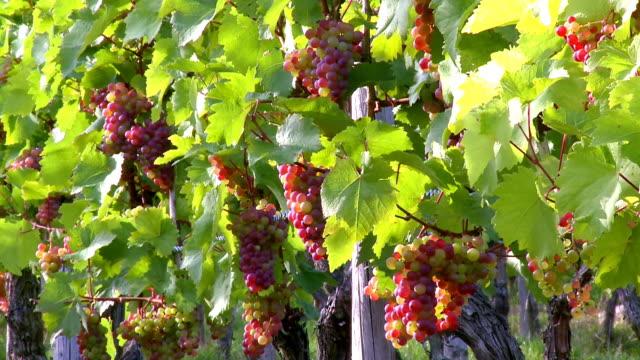 ms bunch of grapes in vineyard / saarburg, rhineland palatinate, germany - grape stock videos & royalty-free footage