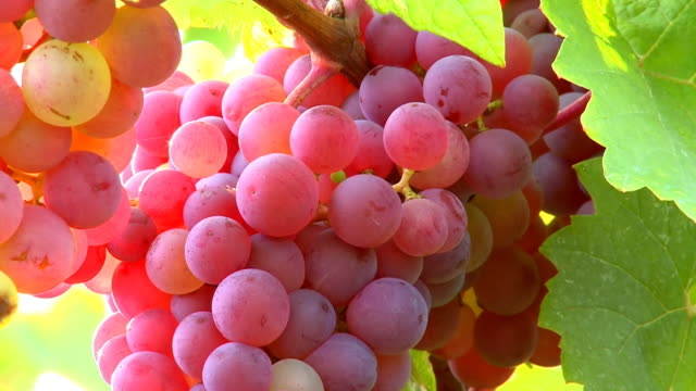 cu bunch of grapes in vineyard / saarburg, rhineland palatinate, germany - grape stock videos & royalty-free footage