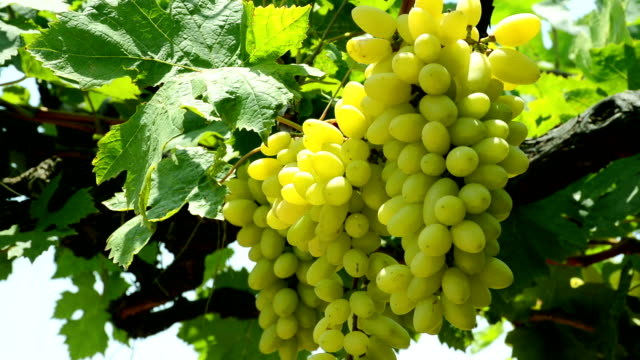 bunch of grapes in vineyard - grape stock videos & royalty-free footage