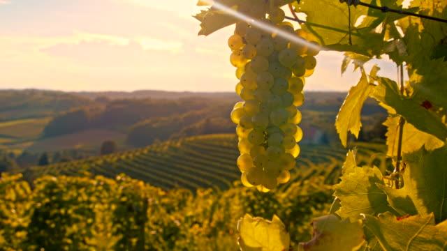 vídeos de stock, filmes e b-roll de ms ds cacho de uvas nas videiras - raw footage