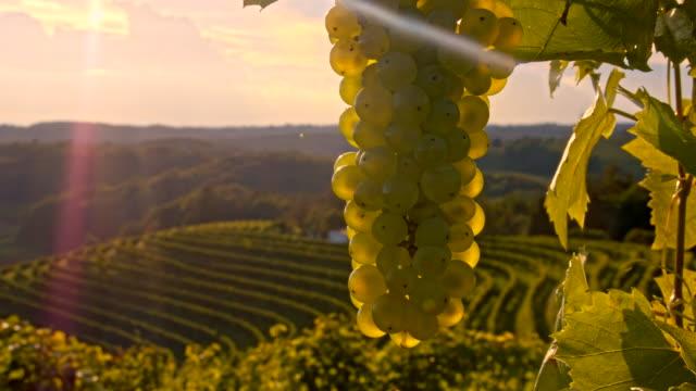 vídeos de stock, filmes e b-roll de cu ds cacho de uvas nas videiras - raw footage