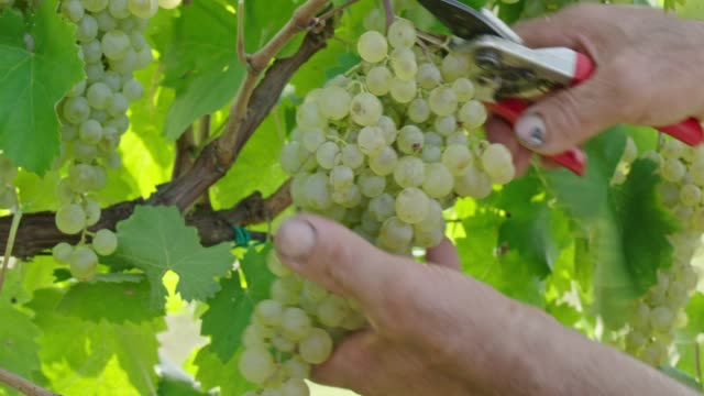 bunch of grapes - vineyard stock videos & royalty-free footage