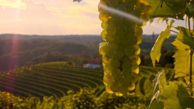 vídeos de stock, filmes e b-roll de cu ds cacho de uvas - raw footage