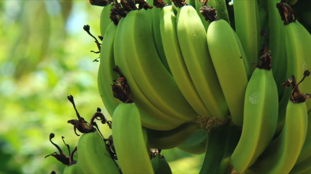 vidéos et rushes de cu focusing bunch of green bananas on tree / nosy be bay, madagascar - banane fruit exotique