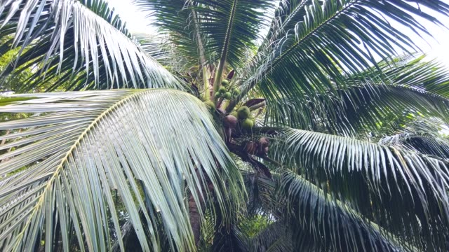 a bunch of green coconut at tree at con island,vietnam - frond stock videos & royalty-free footage