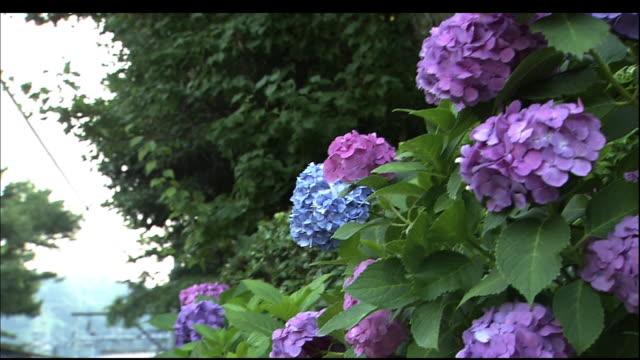 bunch of hydrangea macrophylla flowers. - 神奈川県点の映像素材/bロール