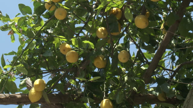 cu bunch of lemons hanging on tree / amalfi, campania, italy - lemon stock videos & royalty-free footage