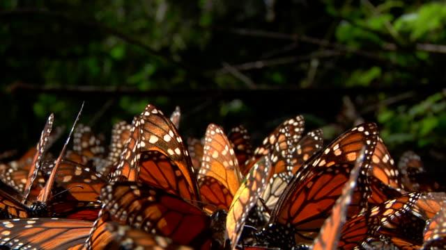 bunch of orange and black monarch butterflies (siproeta epaphus) together fluttering their wings on the ground - animal antenna stock videos & royalty-free footage