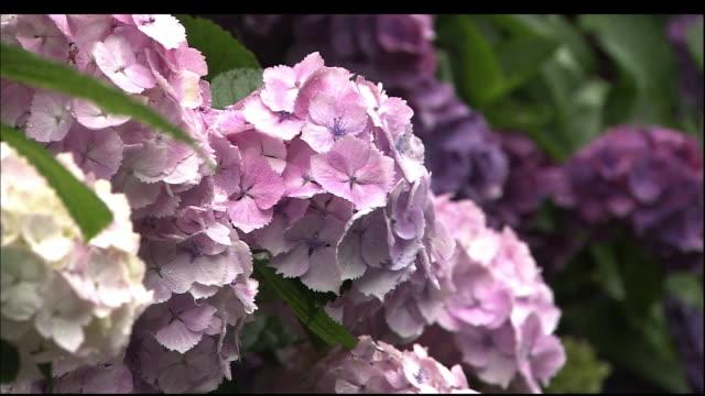 vídeos y material grabado en eventos de stock de bunch of pink hydrangea macrophylla flowers under the rain. - hortensia