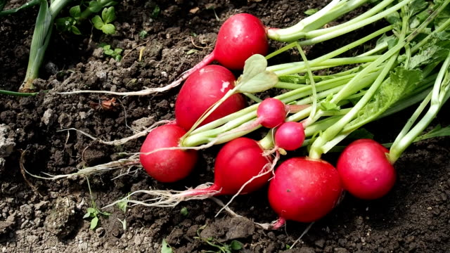 Bunch of radish in the garden in HD