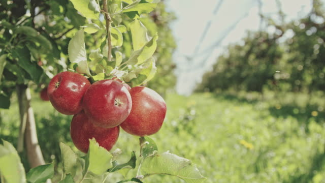 ds bunch of red apples hanging on a tree - apple fruit stock videos & royalty-free footage