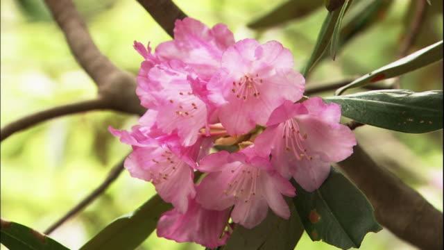 bunch of rhododendron japonoheptamerum var. hondoense flowers. - staubblatt stock-videos und b-roll-filmmaterial