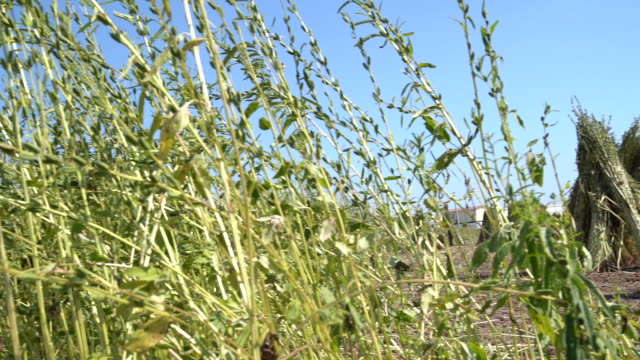 Bunch Of Sesame Plant On Blue Sky