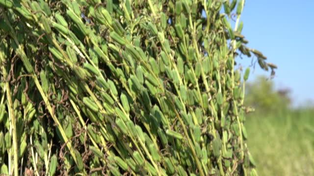 Tas de sésame plante sur ciel bleu