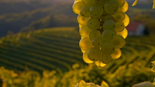 vídeos de stock, filmes e b-roll de cu ds cacho de uvas brancas - raw footage