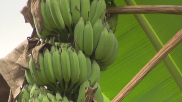 vidéos et rushes de bunches of bananas ripen on a tree. - banane fruit exotique