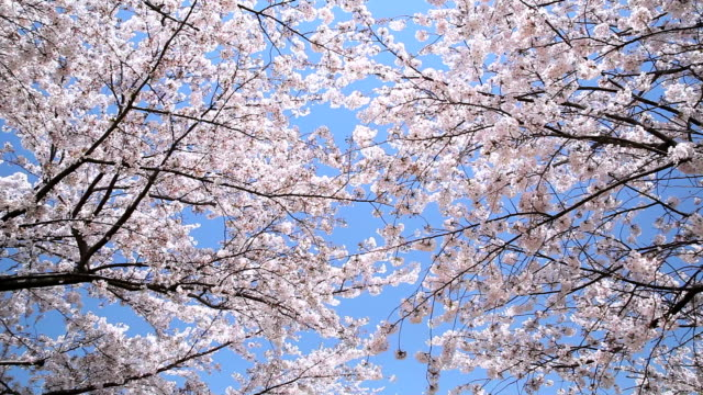 bunches of cherry blossom. - plusphoto stock videos & royalty-free footage