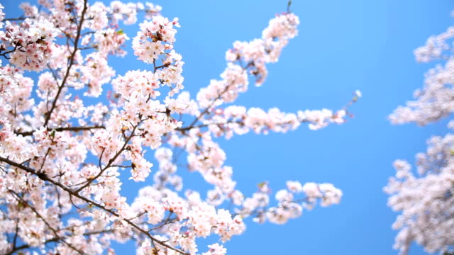bunches of cherry blossom. - petal stock videos & royalty-free footage