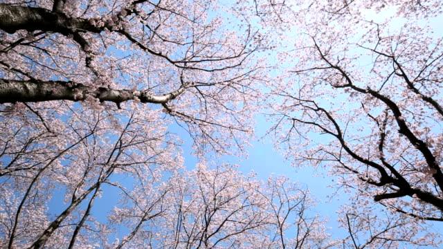 bunches of cherry blossom. - knopp växters utvecklingsstadium bildbanksvideor och videomaterial från bakom kulisserna