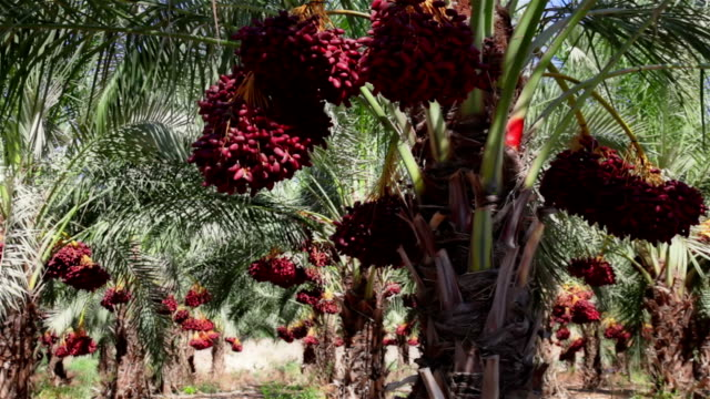 Bunches of dates on palms