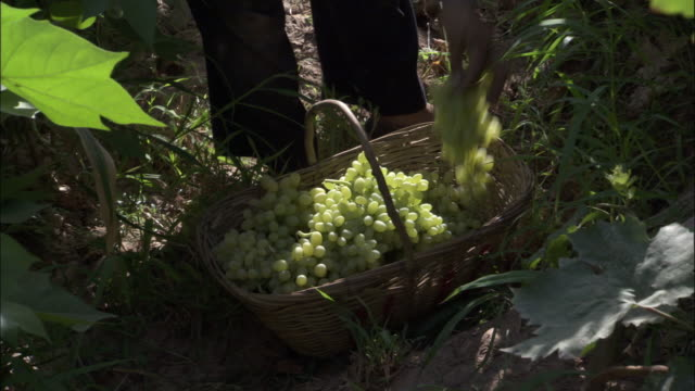 bunches of grapes being placed into basket, turpan, xinjiang province, china - menschliche gliedmaßen stock-videos und b-roll-filmmaterial