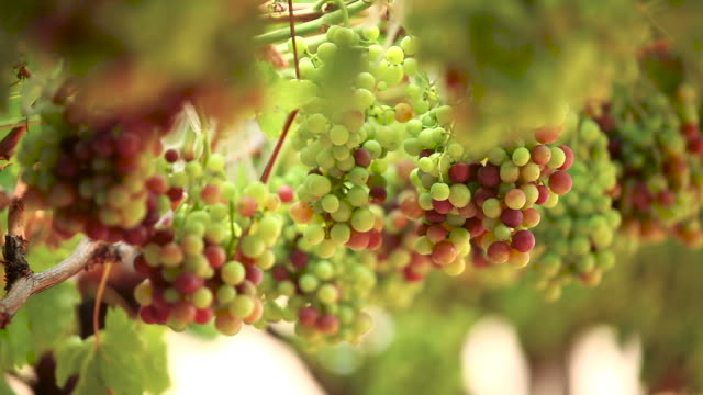 bunches of grapes hang from a vine - paarl stock videos & royalty-free footage