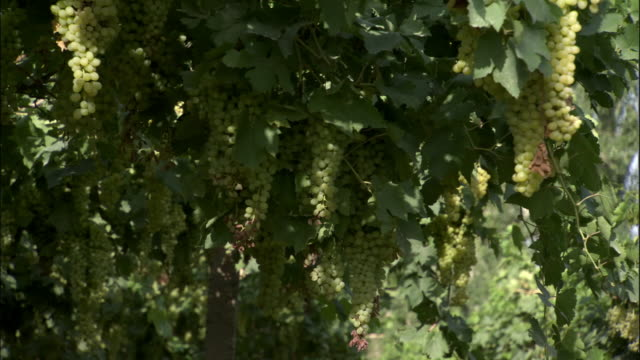 bunches of grapes hang from vines, turpan, xinjiang province, china - vine stock videos and b-roll footage